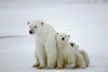 Poster Ours Blanc Polar she-bear with cubs.