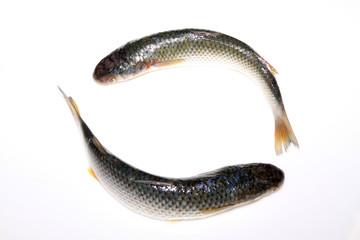 fresh barracuda