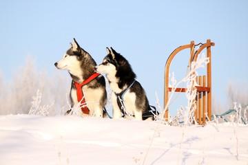 zwei Hunde und Schlitten