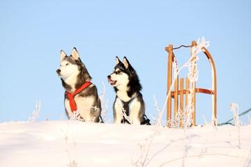 zwei Hunde und Schlitten auf dem Berg