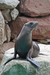 Fototapeta premium Sea lion sitting on a rock