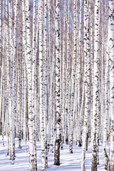 Spoed Foto op Canvas Berkbosje Winter birch forest - winter serenity. Ideally suits for calenda