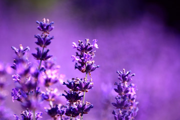 Photo Blinds Lavender lavande
