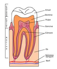 Section de dent