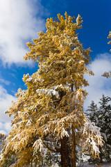 winter larch
