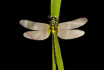 Dragonfly 35