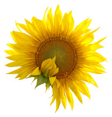 Sunflower on a white