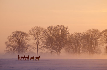 Photo sur Toile Roe roe deer wintertime