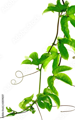 Lianes de passiflore passiflora edulis fruit de la - Passiflore fruit de la passion ...