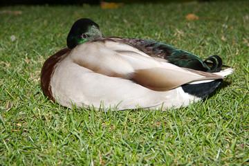 Mallard Duck sleeping
