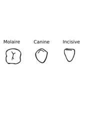 Dents type