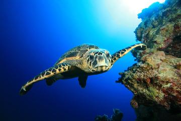 Hawksbill Turtle swims towards camera