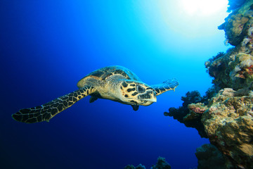 Hawksbill Turtle swims towards camera