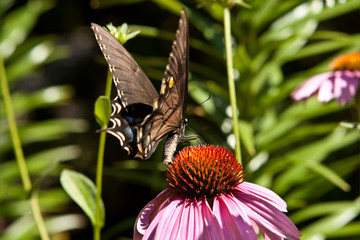 Eastern Swallowtail Butterfly Pink Coneflower 'Magnus' Echinacea