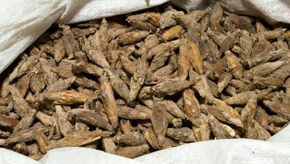 Sack Caterpillars in Brown Cocoons Pet Market Shanghai China