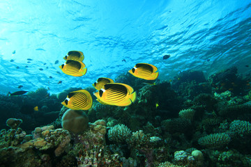 School of Fish: Butterflyfish on a coral reef