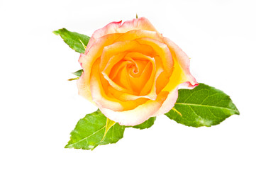 Red yellow rose over white