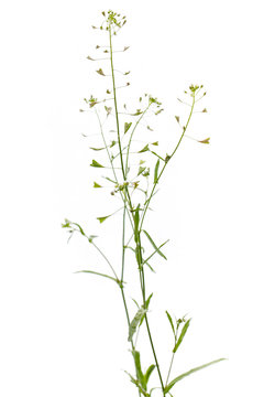 Gewöhnliches Hirtentäschelkraut (Capsella bursa-pastoris) vor we