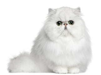 Fototapete - Persian cat, 8 months old, sitting in front of white background