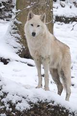 Nordamerikanischer Wolf
