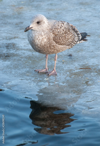 baby seagull standing on frozen pond