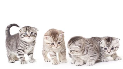 kittys of the scottish sort on white background