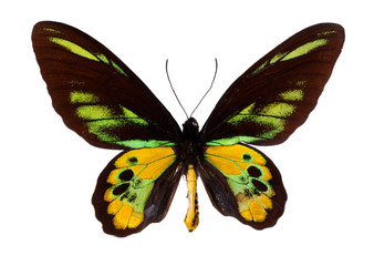Green Birdwing Swallowtail. (Schoenbergia rothschild)