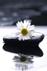 Poster Spa gerbera daisy on zen stones