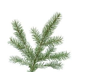 spruce's twig