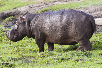 Hippo auf Wiese