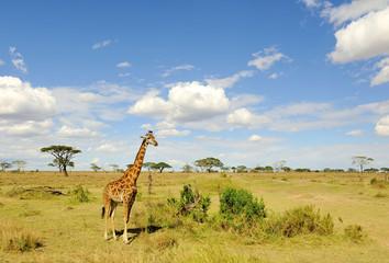 Giraffa in Serengeti NP