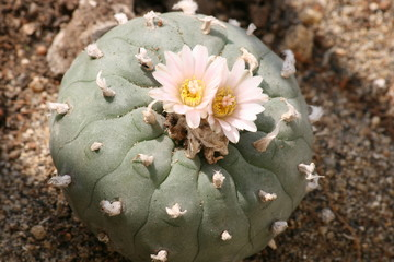 Lophophora williamsii cactus.