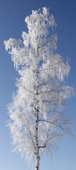 Fototapete - Winter birch tree