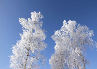 Wall Mural - Frozen birch trees
