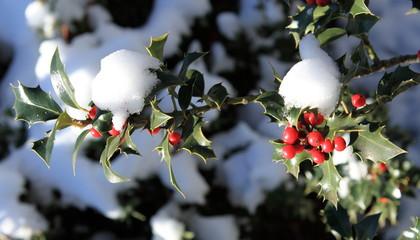 houx sous la neige de noël
