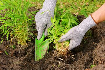 Bambus pflanzen - bamboo planting 01