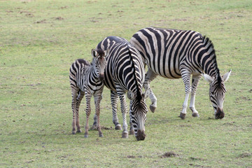 Obraz Zebras - fototapety do salonu