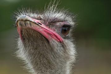 Porträt Afrikanischer Strauß (Struthio camelus)
