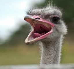 lustiges Porträt Afrikanischer Strauß (Struthio camelus)