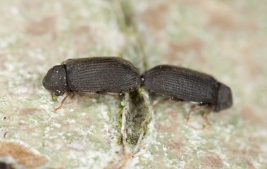 Wood living beetles mating