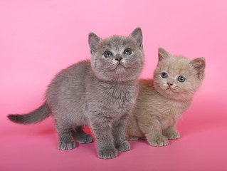Poster Jaune Purple and blue British shorthair kittens in pink.