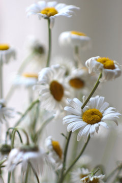 Wilted  white and yellow daisies