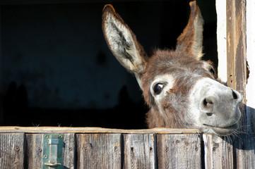 Foto auf Leinwand Esel Funny Donkey