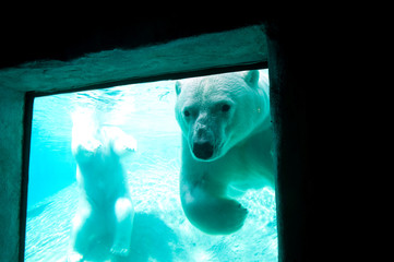 Polar bear through a window