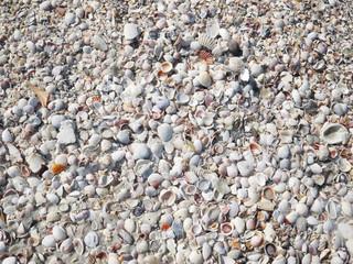 Seashells at sunny Florida beach.