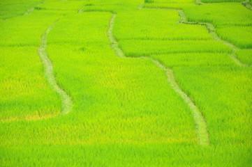 Rice paddyfield