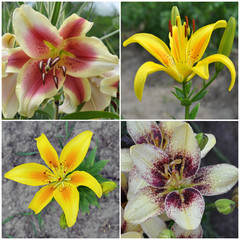 Flowers of a lily