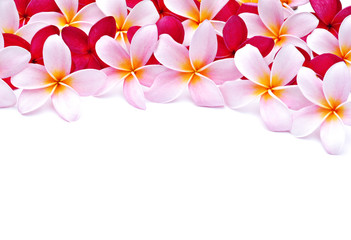 frangipani flowers for design