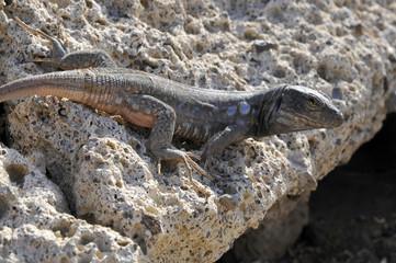 Lézard tison sur un rocher à Ténérife aux îles Canaries