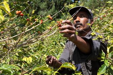 St Helena coffee farmer picking ripe cherry beans